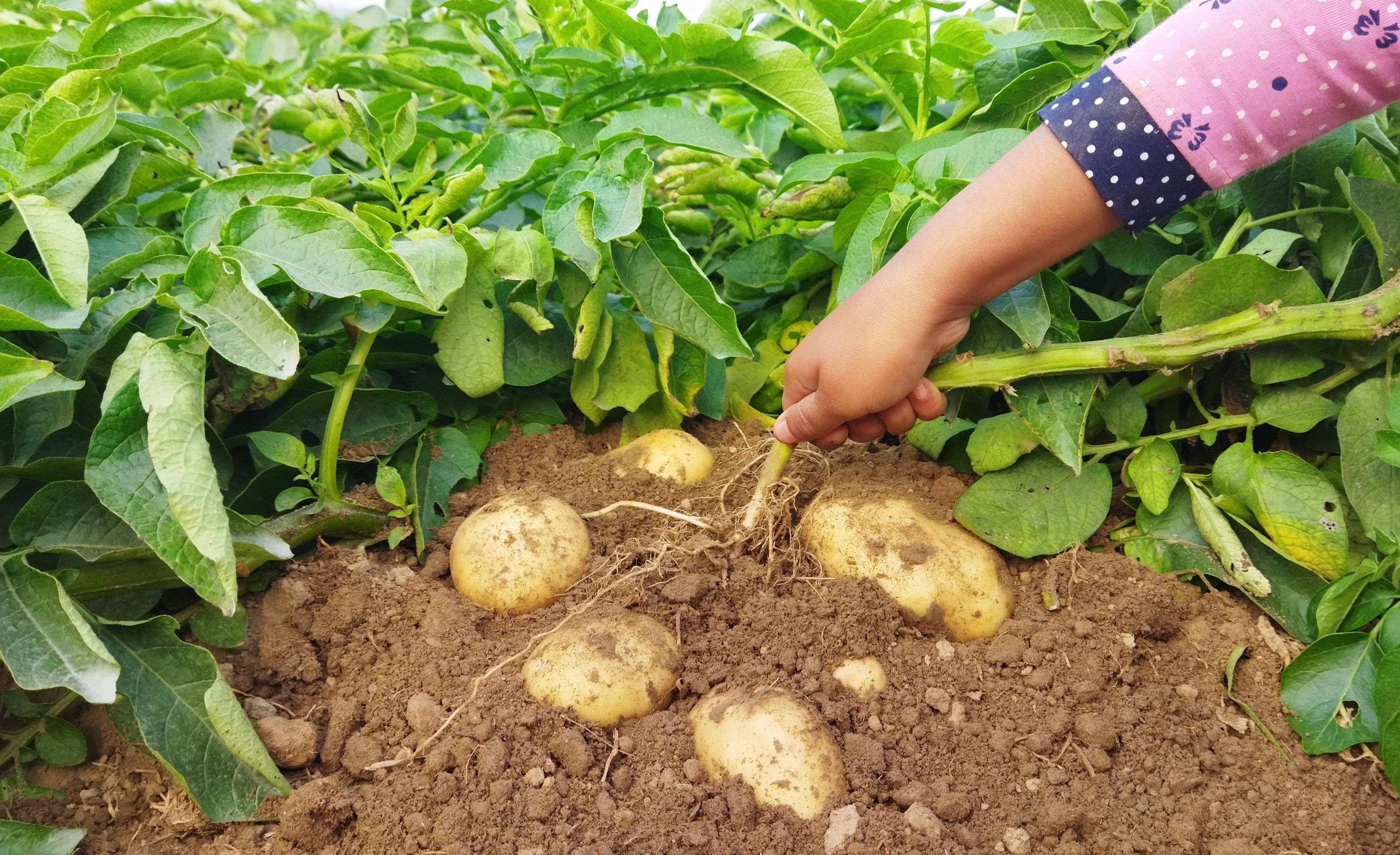 Comment choisir  ses plants de pommes de terre