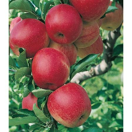 Come potare un melo