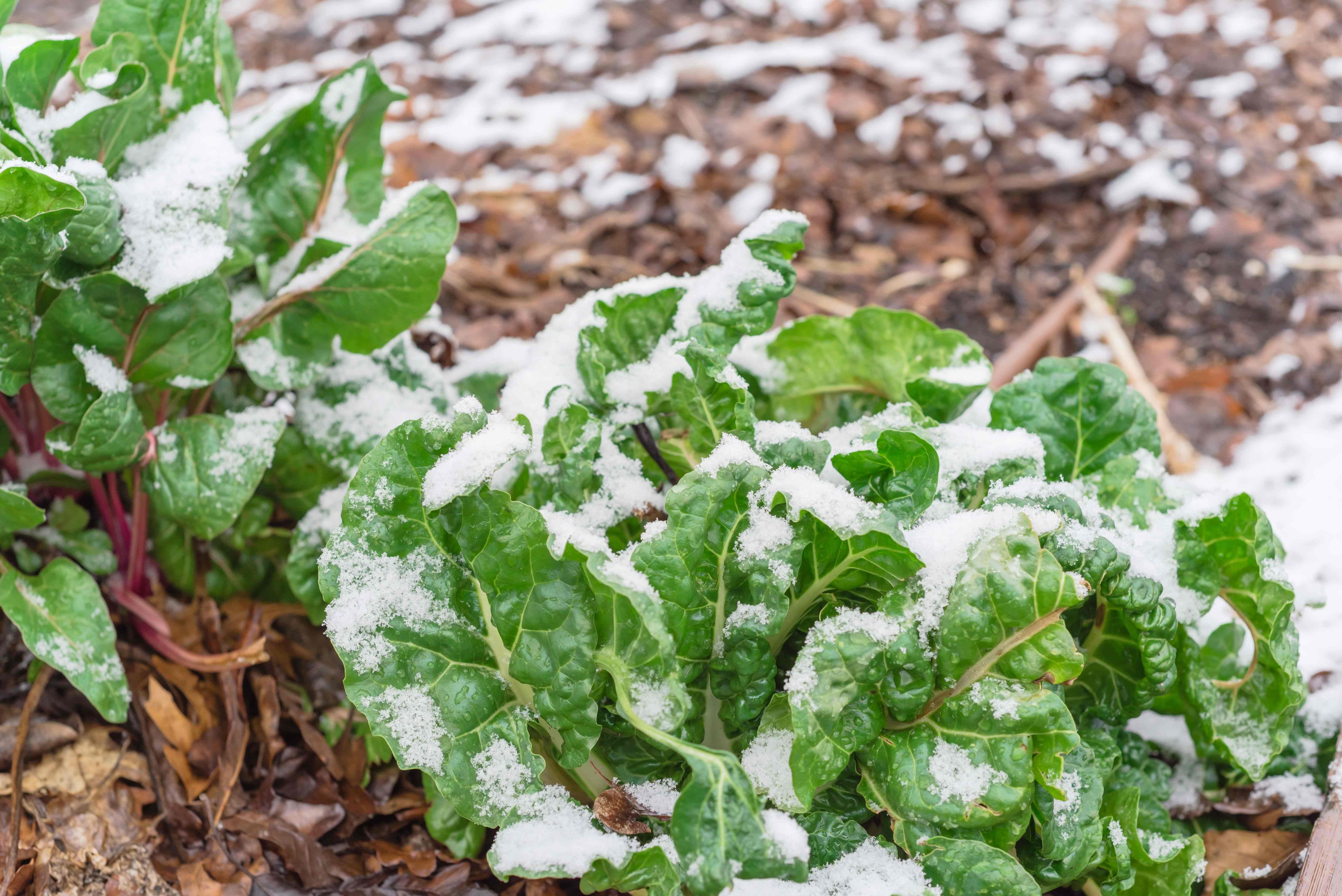 Den Gemüsegarten im Winter pflegen: So geht's