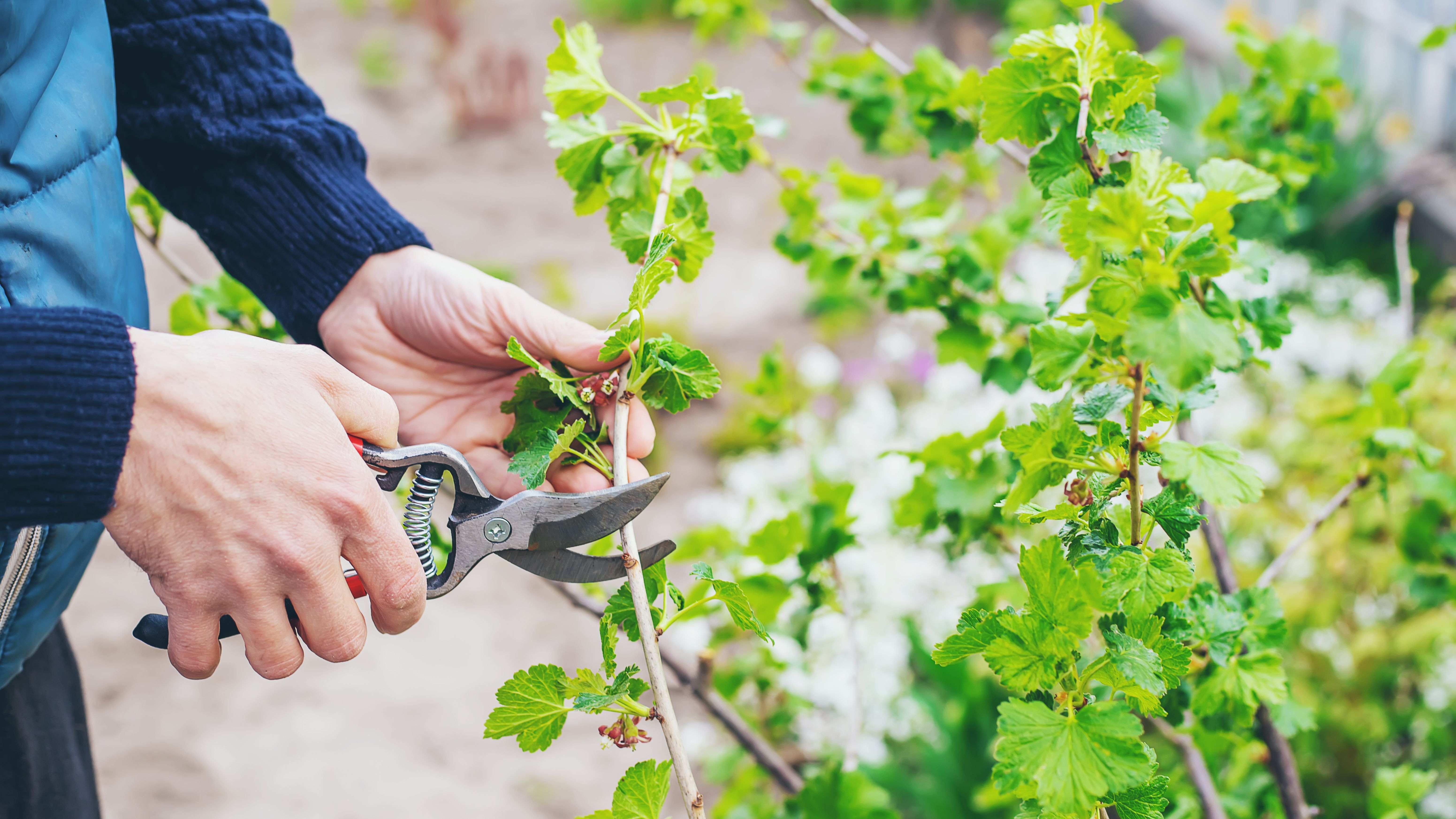 Comment tailler un arbre et un arbuste