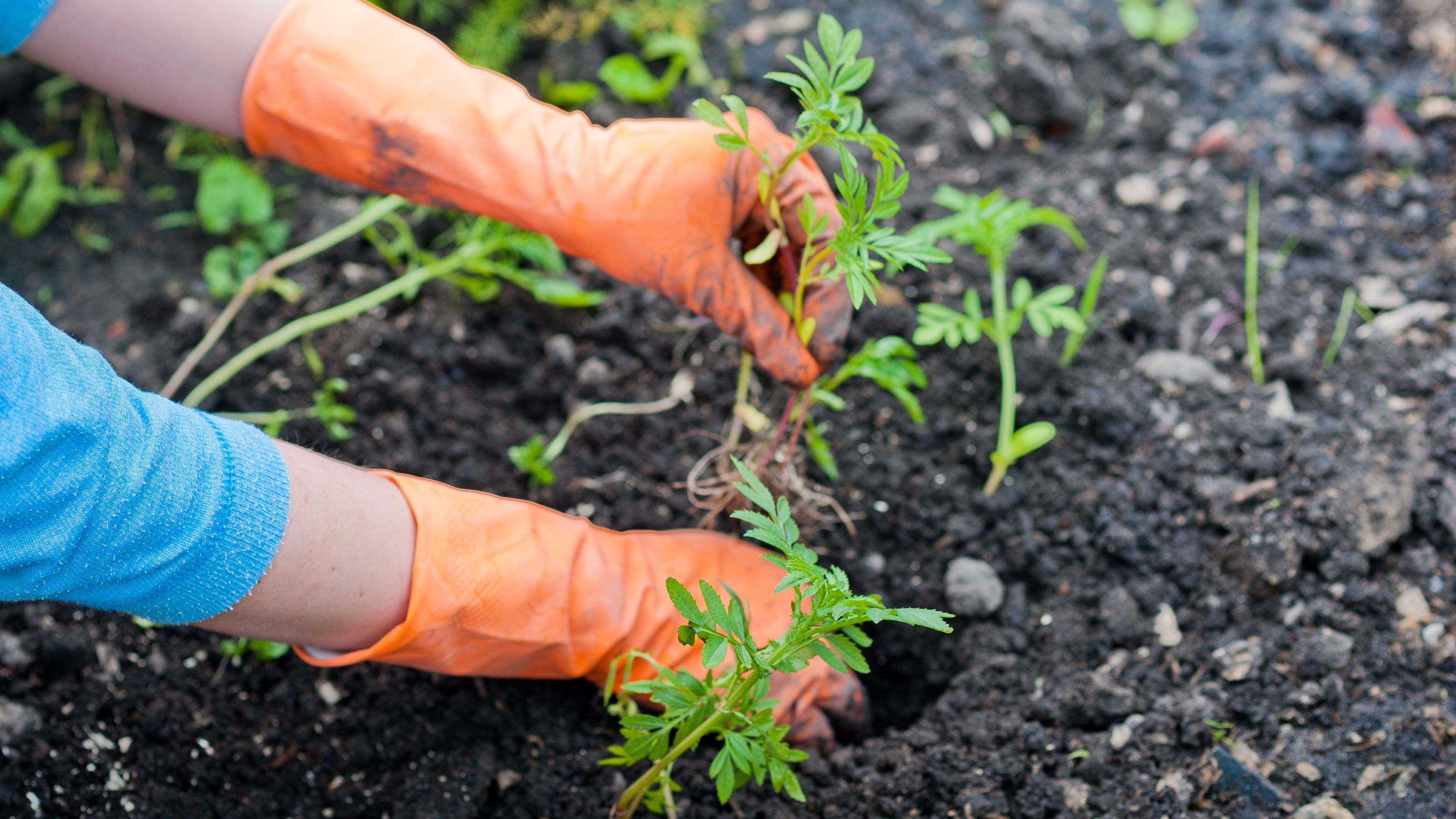 How to transplant your vegetable plants?