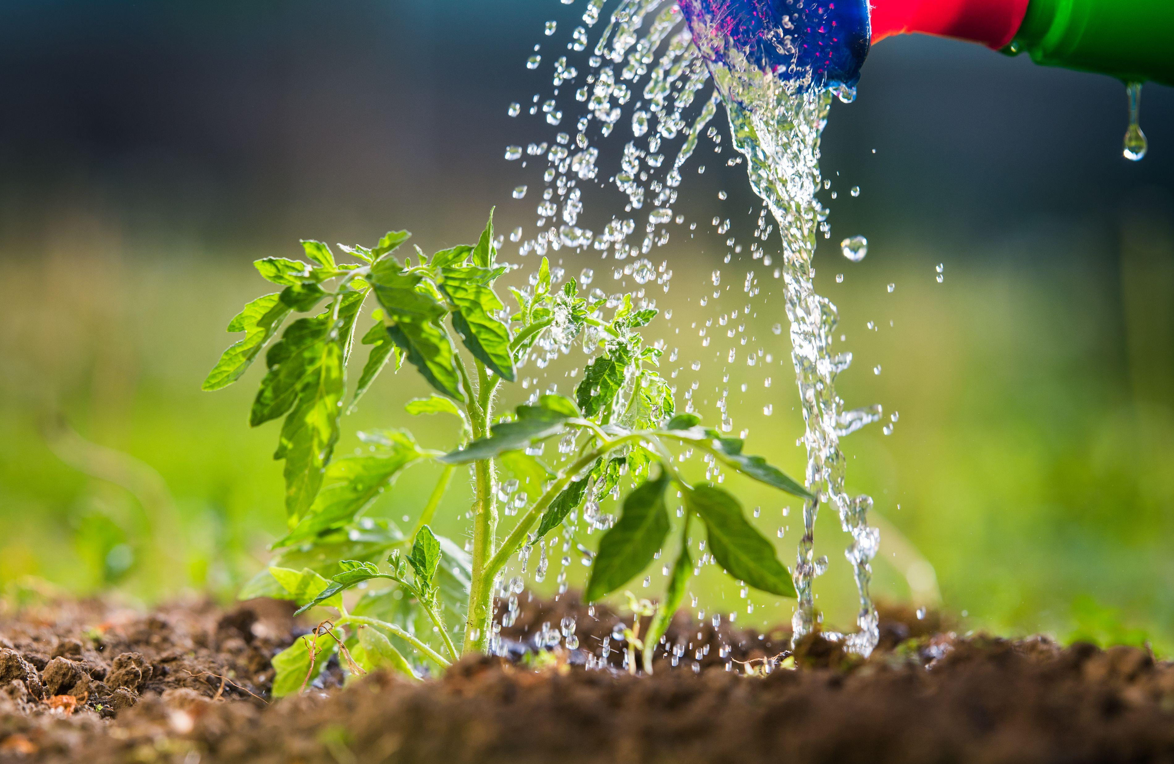 How to water your vegetable garden