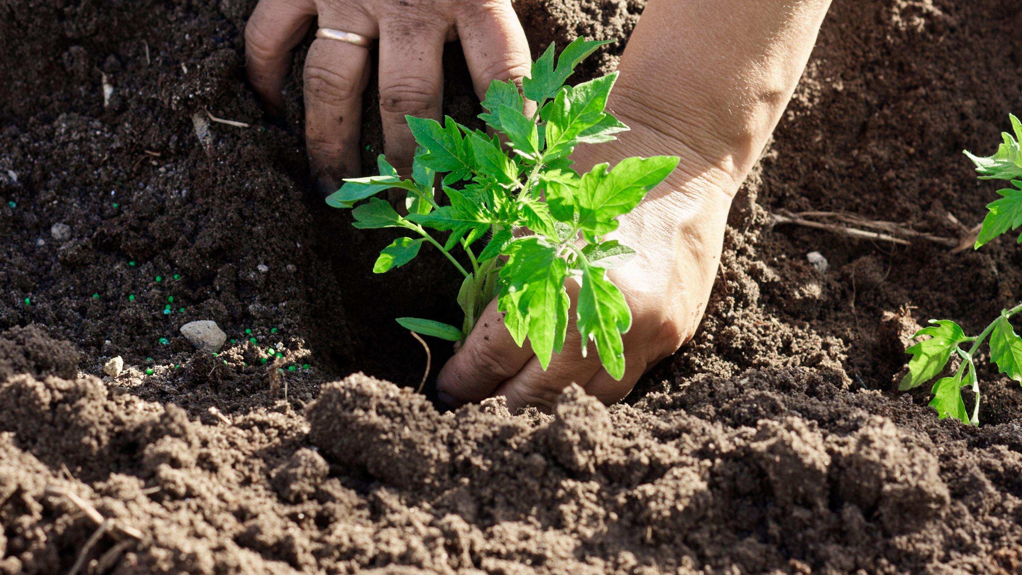 Qué hortalizas plantar o sembrar en mayo