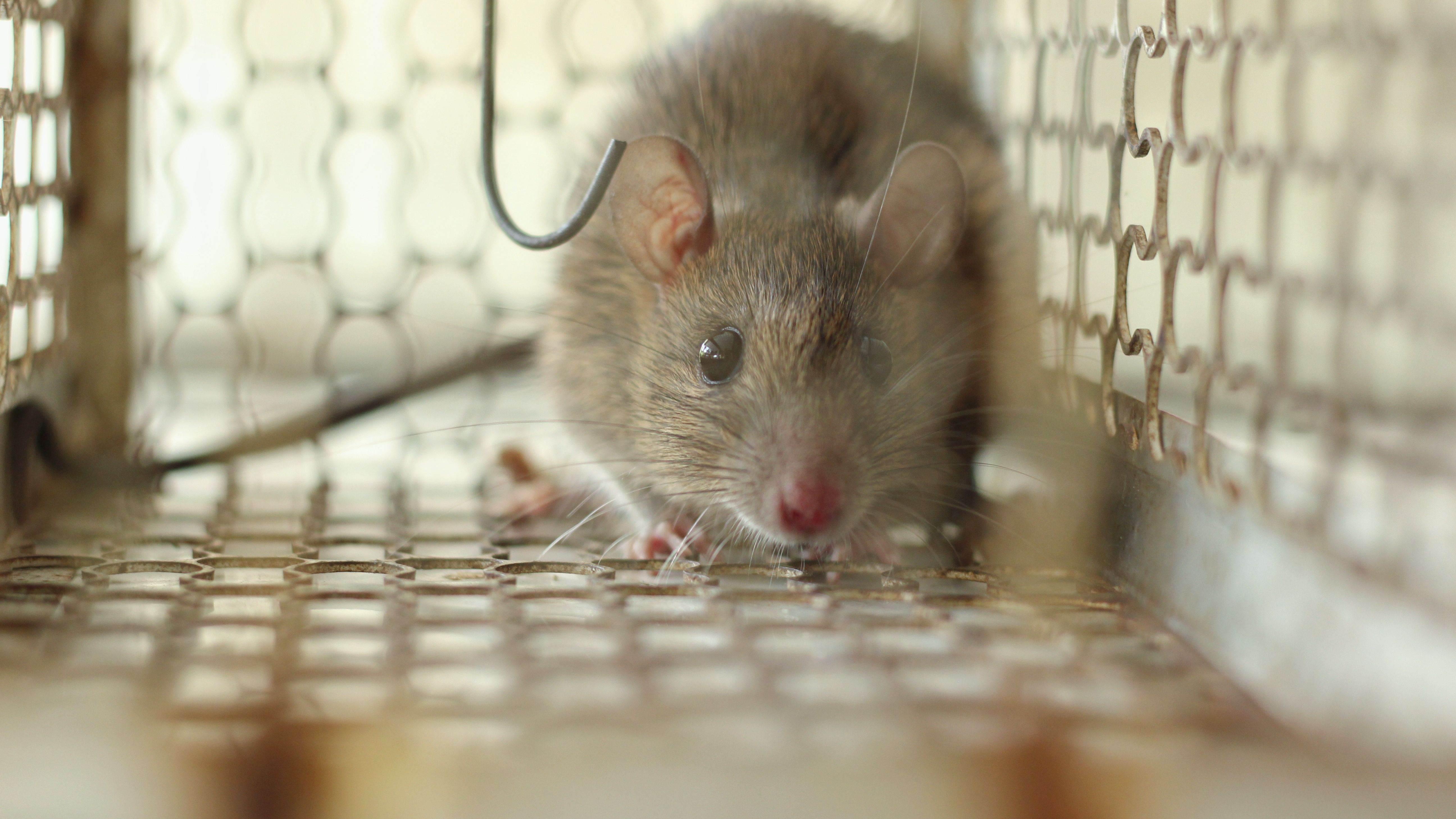 Come catturare un topo