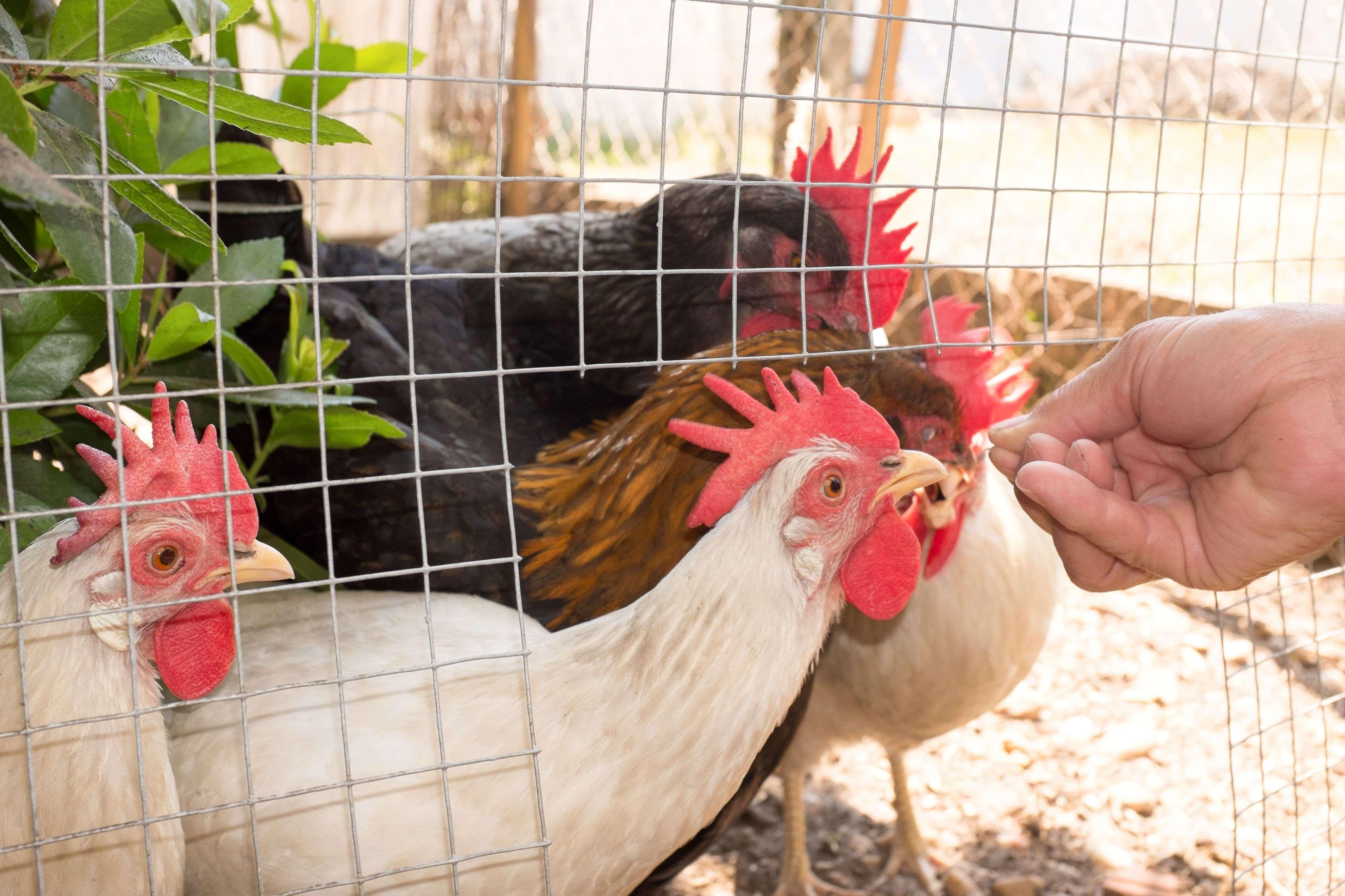 Poulailler  : comment choisir