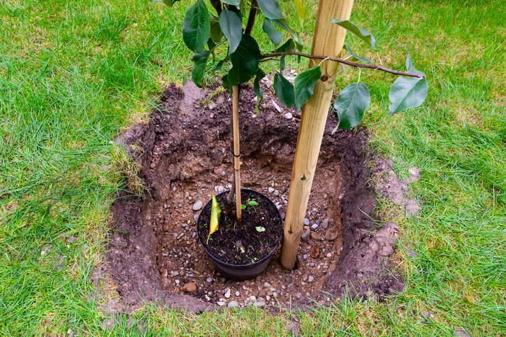 How to plant a fruit tree or bush