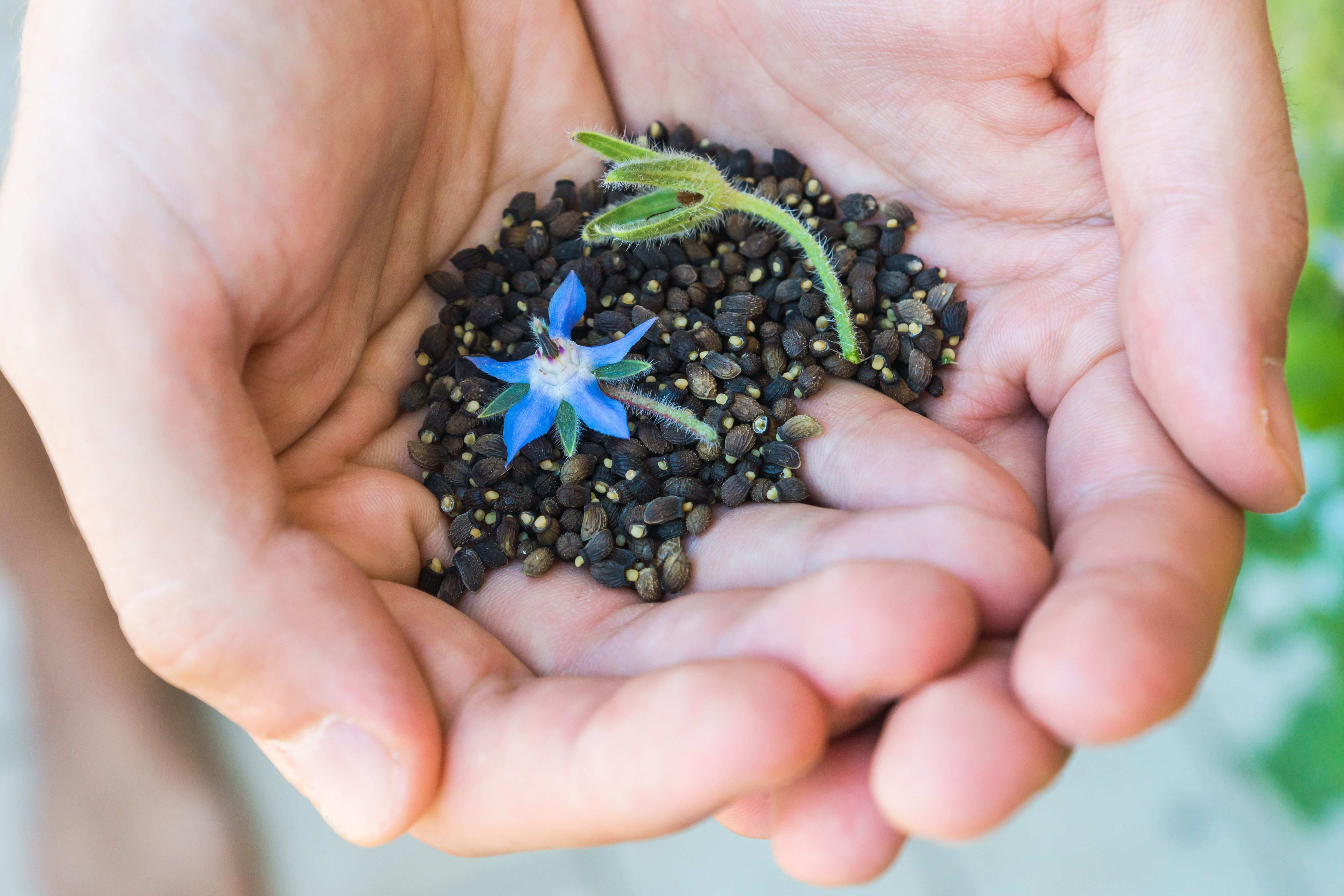 Flower seeds:  a close look at easy-to-grow flower seeds