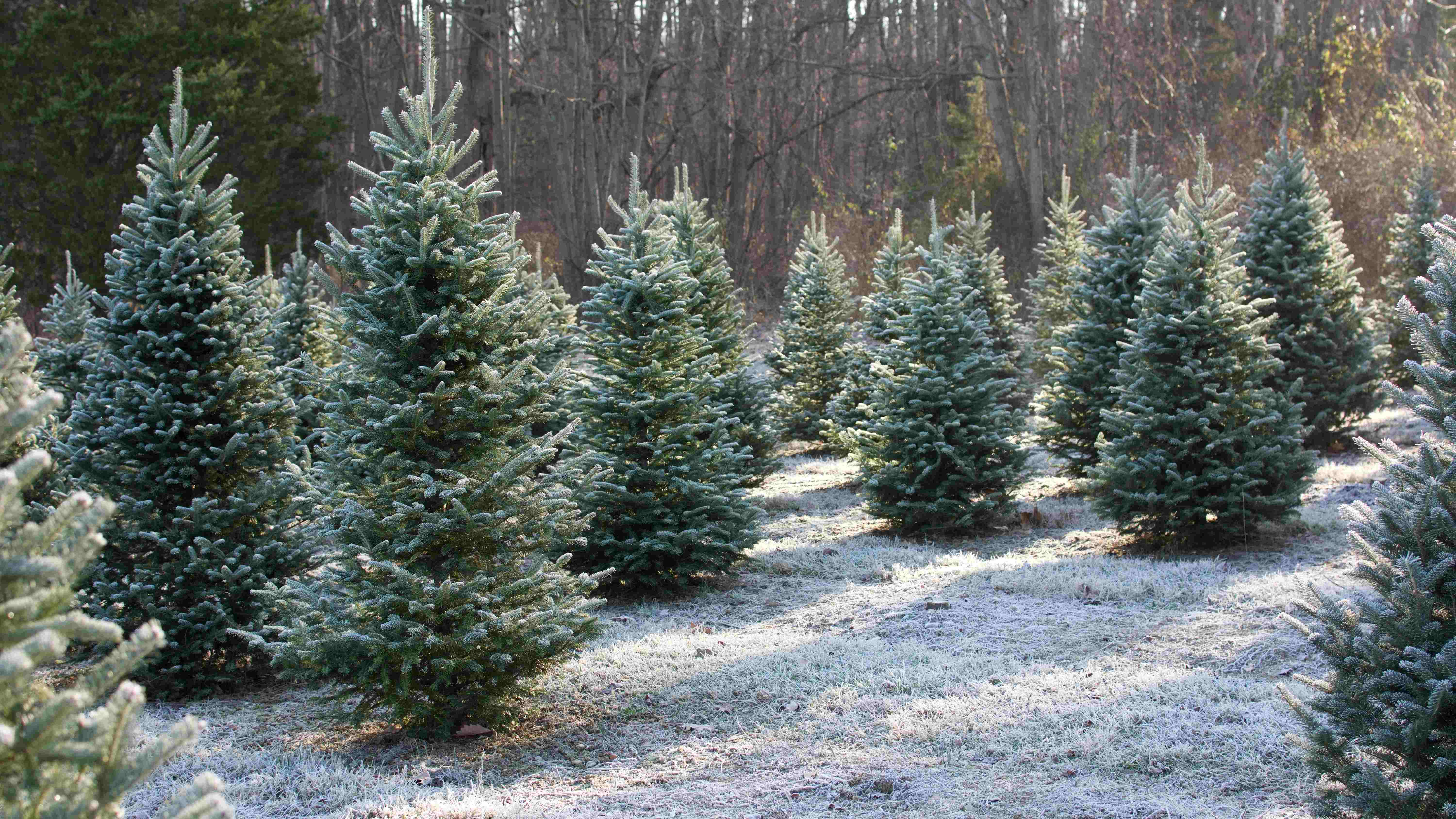 Real or artificial: which Christmas tree is better for the planet?