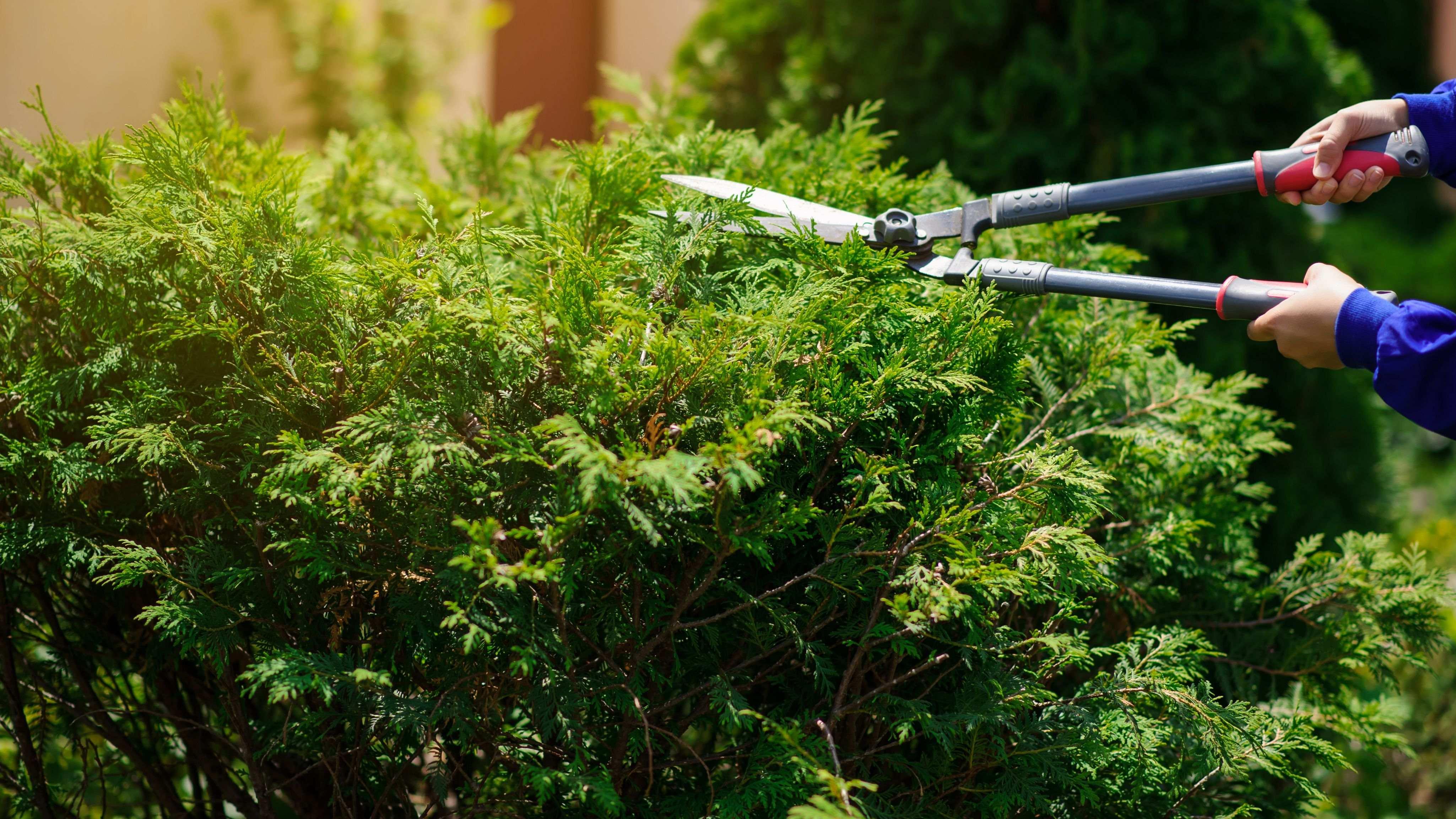 How to trim a hedge