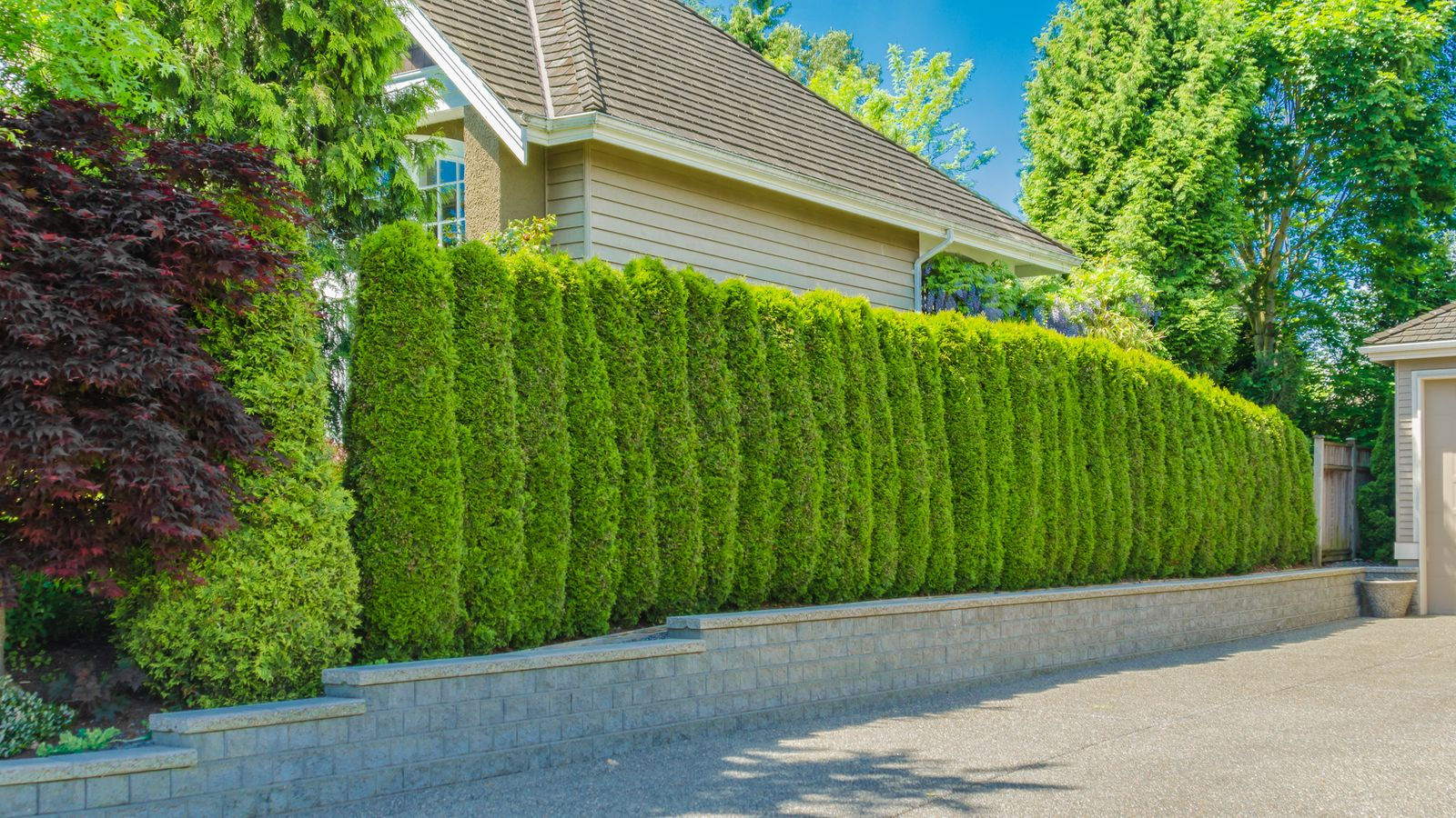 How to choose  the right species of hedge plants?