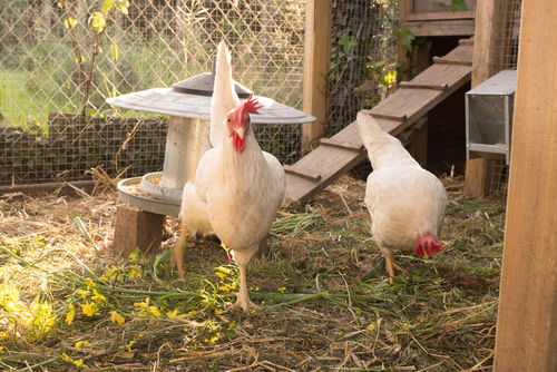 How to maintain a chicken coop