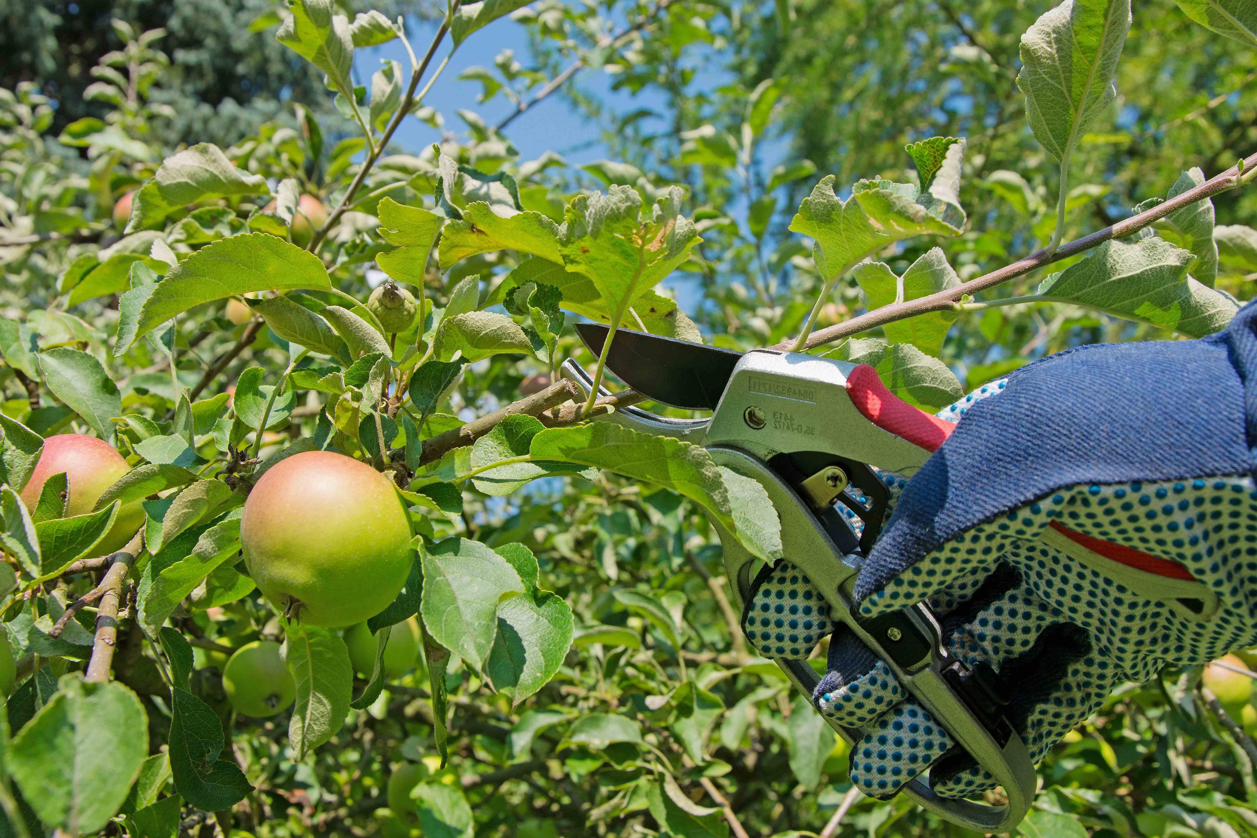 Comment tailler les arbres fruitiers