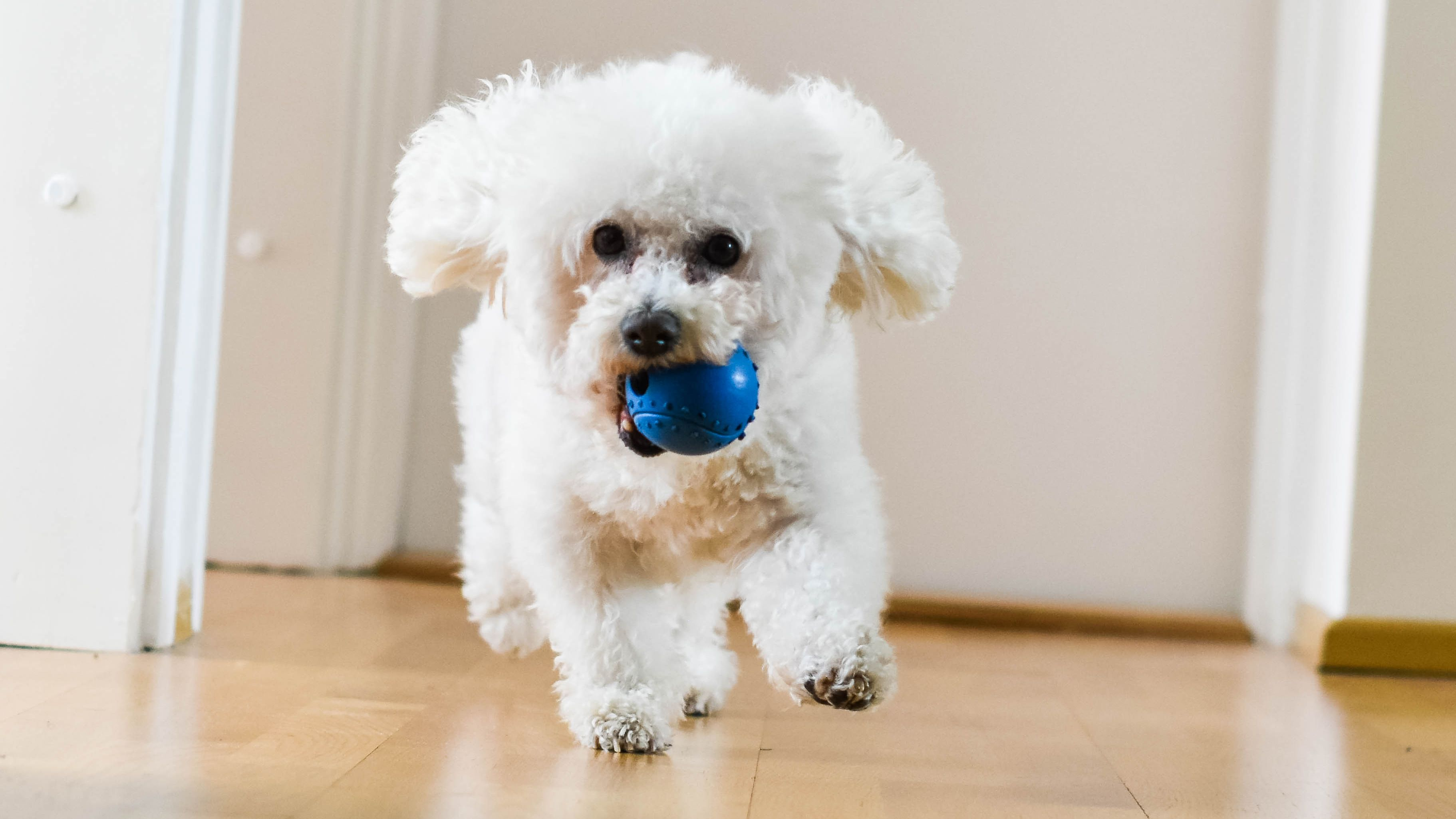 Las 10 razas de perro más adecuadas para un piso