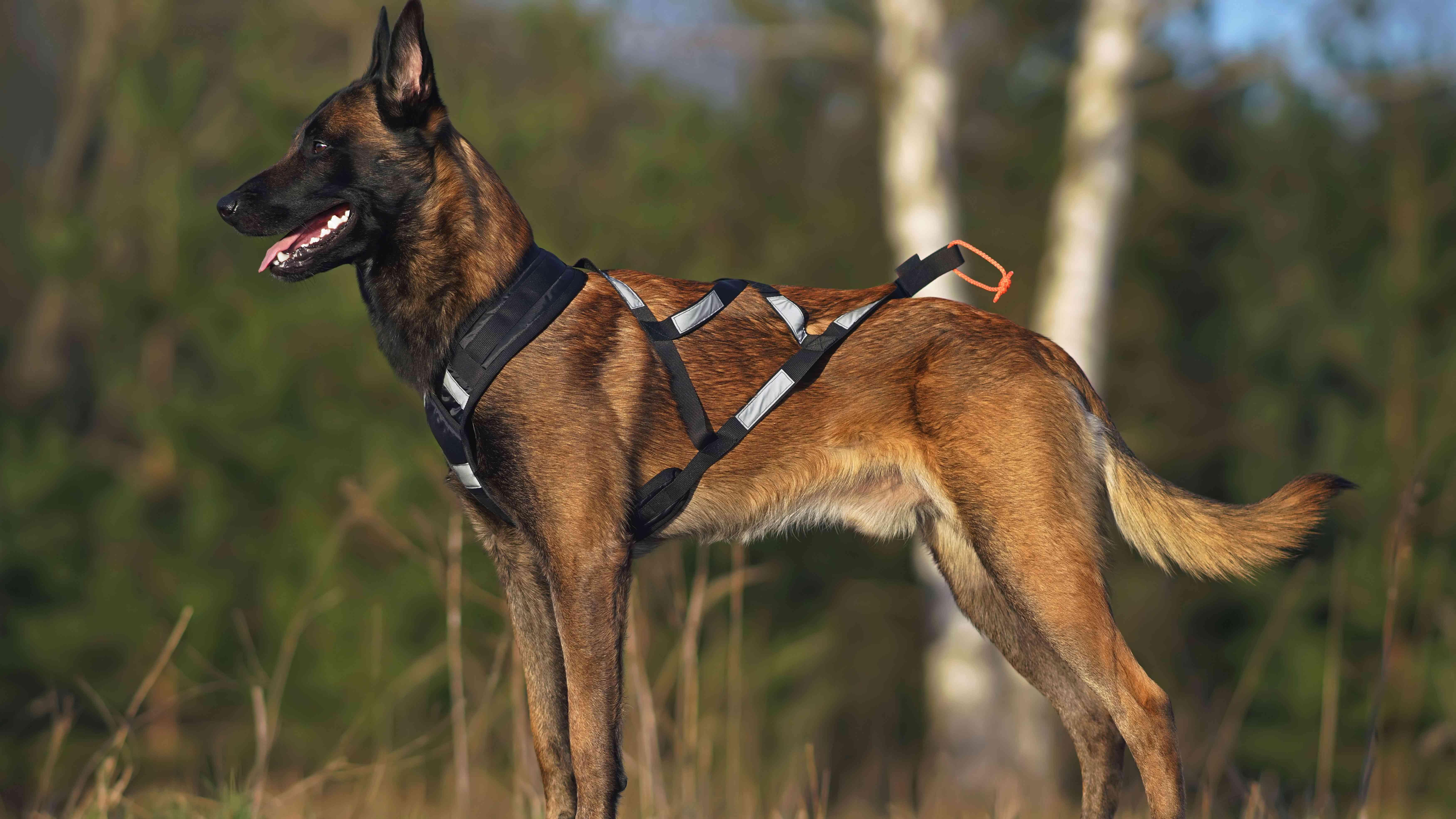 Collier et harnais pour chien  : comment choisir