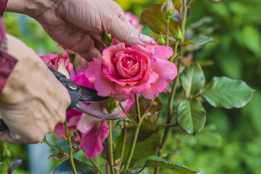 Come potare  un rosaio
