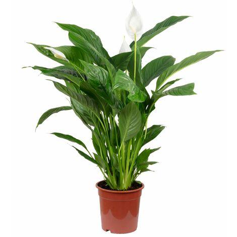 Einblatt - Höhe ca. 90 cm, Topf-Ø 19 cm - Spathiphyllum Lauretta