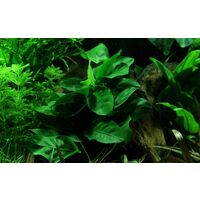 Einsteiger Set mit 6 einfachen Tropica Topf Pflanzen Aquariumpflanzenset Nr.29