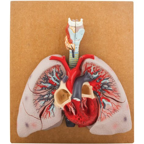 """main image of """"Eisco AM00710 - Human Lungs Model - 460 x 400 x 130mm"""""""