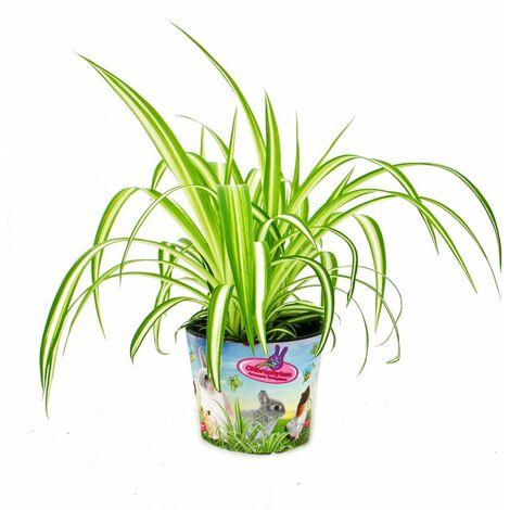 Ensemble de 3 plantes alimentaires pour animaux de compagnie - Chlorophytum - Nourriture vitale pour lapins, hamsters et cobayes