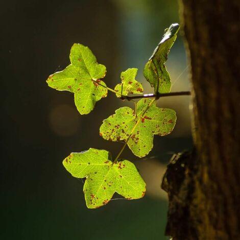 Planta montpellier