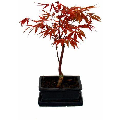 Érable japonais, Acer palmatum, bol 15cm