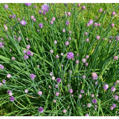 Erba cipollina -vaso 14cm- piante aromatiche erbe aromatiche pianta aromatica