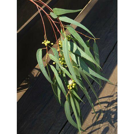 Eucalyptus Trabutii h.80/100 cm