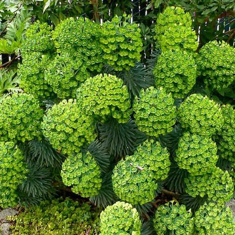 Euphorbia characias - Maceta de 5Litros