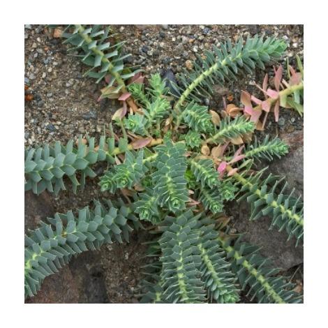 Euphorbia myrs. - Maceta de 2Litros