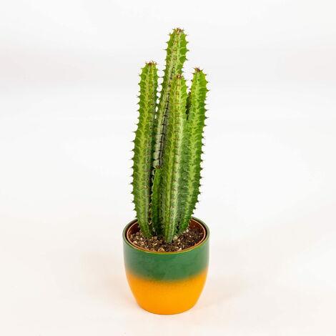 Euphorbia trigona var. Green - Ø 12 cm