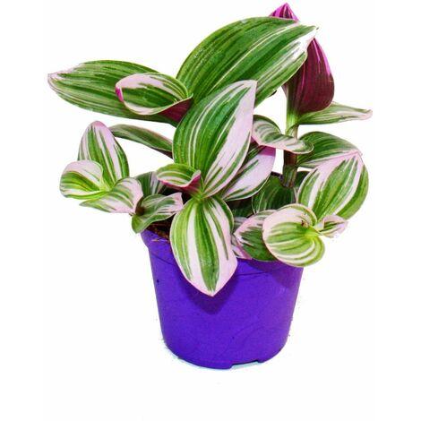 """main image of """"Exotenherz - fleur à trois mâts - Tradescantia """"Nanouk"""" - plante d'intérieur à suspendre facile d'entretien - pot 9cm - rose"""""""