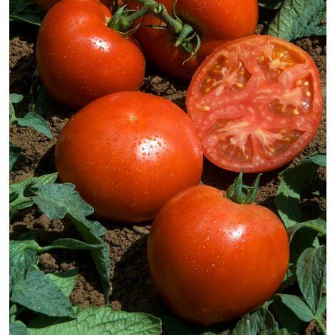 Fantasio F1 - 15 semences - Tomates