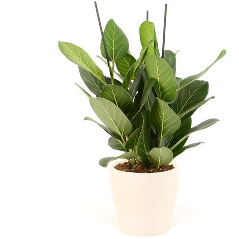 Ficus Audrey En Cache Pot Style Beige O 21 X H 65cm P 010 0248