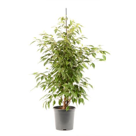 Ficus benjamina Anastasia Ø 21 x H. 105cm