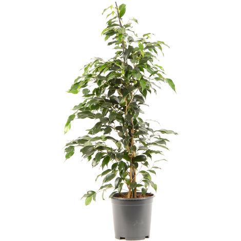 Ficus benjamina Danielle Ø 21 x H. 100cm