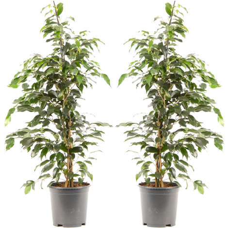 Ficus benjamina Danielle Ø 21 x H. 100cm | Offre Duo