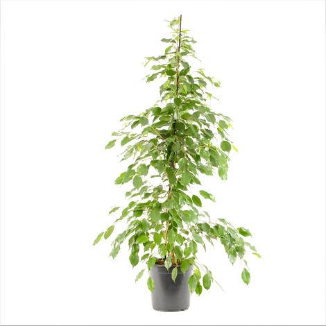 Ficus benjamina Exotica Ø 24 x H.130cm