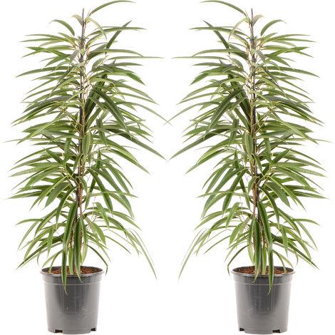 Ficus Binnendijkii Alii Ø 21 x H.105 cm | Offre Duo