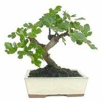 Ficus carica 8 años HIGUERA
