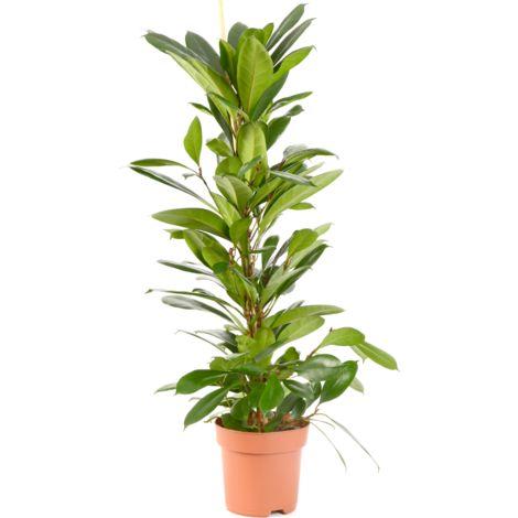 Ficus cyathistipula Ø 21 plusieurs modèles disponibles
