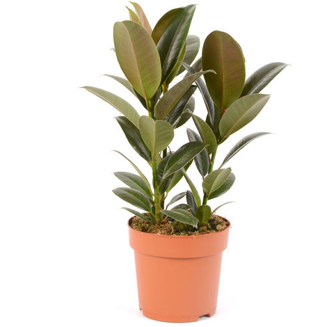 Ficus Elastica Melany Ø 19 x H.55cm
