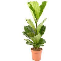 Ficus Lyrata Ø 21 plusieurs modèles disponibles