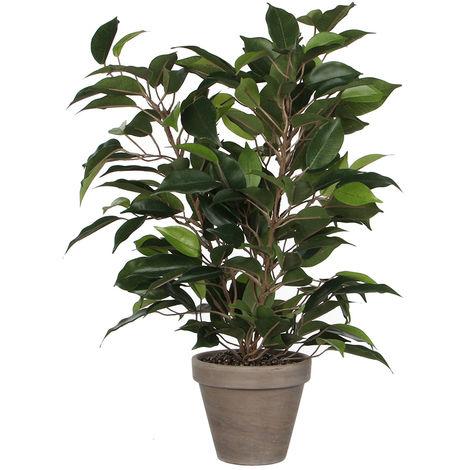 Ficus natasja con maceta d11.5cm - 40x30cm