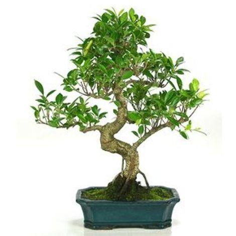 Ficus retusa - 10 años - Bonsái