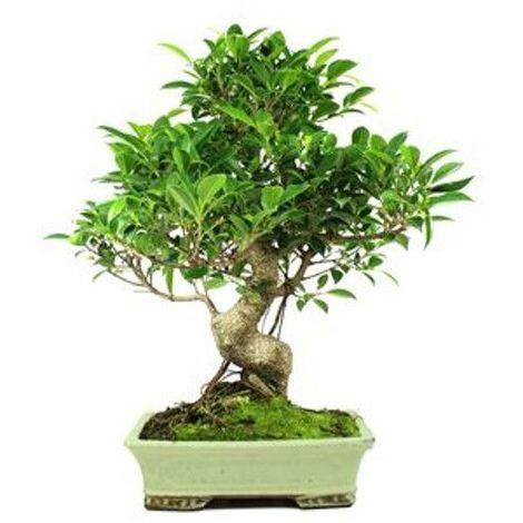 Ficus retusa - 16 años - Bonsái