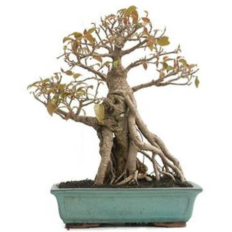 Ficus retusa - 20 años - Bonsái