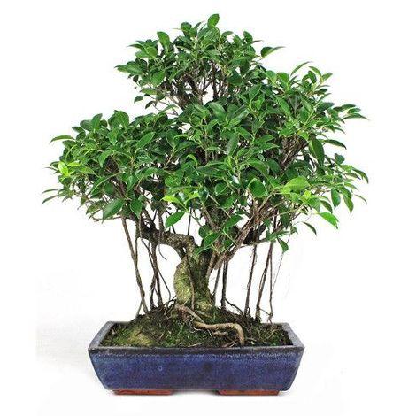 Ficus retusa - 21 años - Bonsái