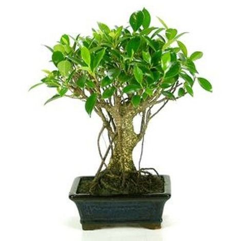 Ficus retusa - 5 años - Bonsái