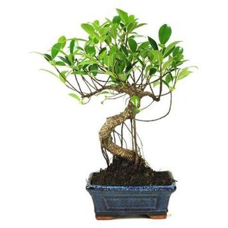 Ficus retusa - 6 años - Bonsái