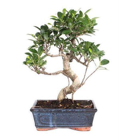 Ficus retusa - 8 años - Bonsái